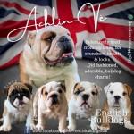 ACHLINVE (English Bulldog)