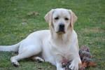 WILDRA (Retriever Labrador)