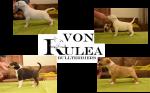 VON RULEA (Bull Terrier)