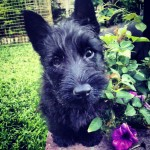 MAXIES (Scottish Terrier)