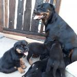 VON EVANLIE (Rottweiler)