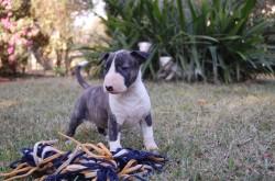 RUATAN (Bull Terrier)