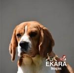 EKARA (Beagle)
