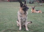 VAN FRIEDENHEIM (German Shepherd Dog)
