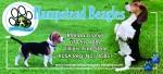 HAMPSTEAD (Beagle)
