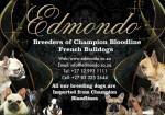 EDMONDO (French Bulldog)