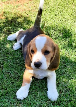 MARPETE (Beagle)