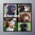 ALBERDEN (Retriever Labrador)