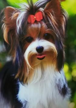IRMADU (Biewer Terrier)