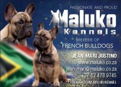 MALUKO (French Bulldog)
