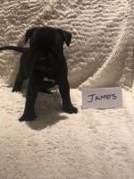 MRS.M. APPELGRYN (Staffordshire Bull Terrier)