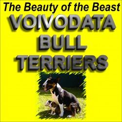 VOIVODATA (Bull Terrier)