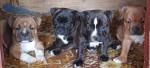 IZINGWABA (Staffordshire Bull Terrier)