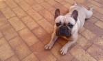 ANDELGO (French Bulldog)