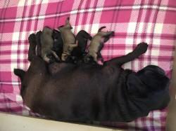 BIESIESFONTEIN (Pug)