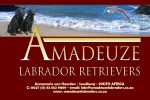 AMADEUZE (Retriever Labrador)