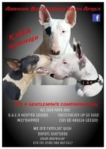 AMSHONE (Bull Terrier)