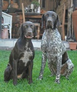 GOEDGEVONDEN (German Shorthaired Pointer)
