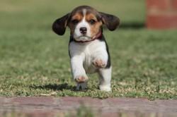 KENBURG (Beagle)