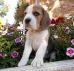 TOLCKETNA (Beagle)