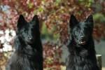 MALONOWA (Belgian Shepherd Groenendael)