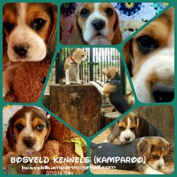 KAMPAROO (Beagle)