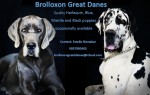 BROLLOXON (Great Dane)