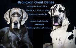 BROLLOXON (Great Dane)