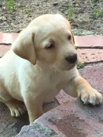 BARDALE (Retriever Labrador)