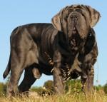 DELPICASSO (Neapolitan Mastiff)