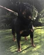 MABUDJATE (Rottweiler)