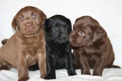 ABOHEME (Retriever Labrador)