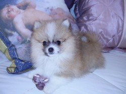 BROWDEEN (Pomeranian)