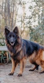 SENEN (German Shepherd)