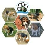 HAMPSTEAD (Beagle)