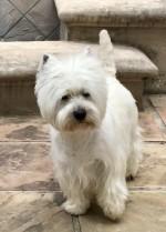 WESTJOY (West Highland White Terrier)