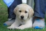 AILSACRAIG (Retriever Labrador)
