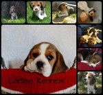 LANICO (Beagle)