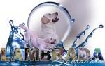 LAMBRADA (Retriever Labrador)