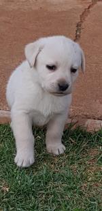 LAUBRARI (Retriever Labrador)