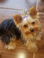 CHARCLOE (Yorkshire Terrier)
