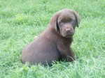 MARSABET (Retriever Labrador)