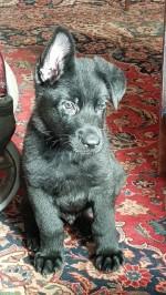 MARSABET (German Shepherd Dog)