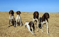 MATOTOLAND (German Shorthaired Pointer)