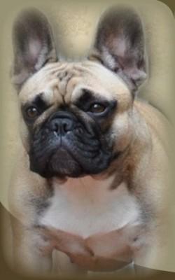 MALLIKI (French Bulldog)