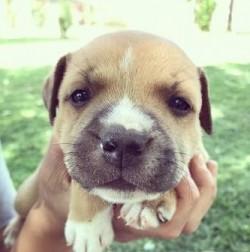 MEV. E. VAN DER WALT (Staffordshire Bull Terrier) - SOLD OUT
