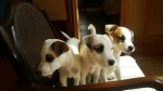 MAXAYLA  (Parson Russell Terrier)