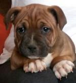 NAMACA (Staffordshire Bull Terrier)
