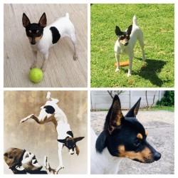 KAYANINI (Toy Fox Terrier)