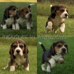 LUDICRA (Beagle)